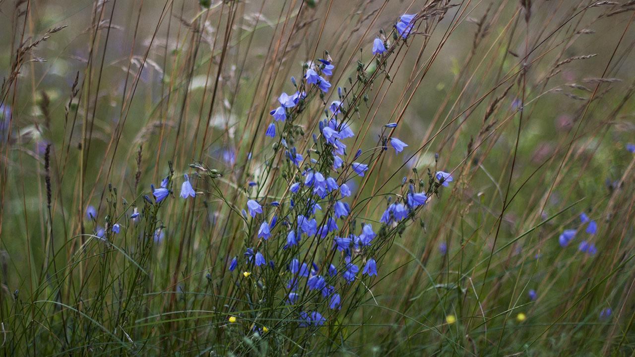 полевые цветы омской области фото и названия